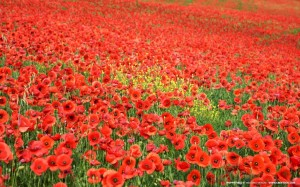 Poppy-Field-Wallpaper-1024x640